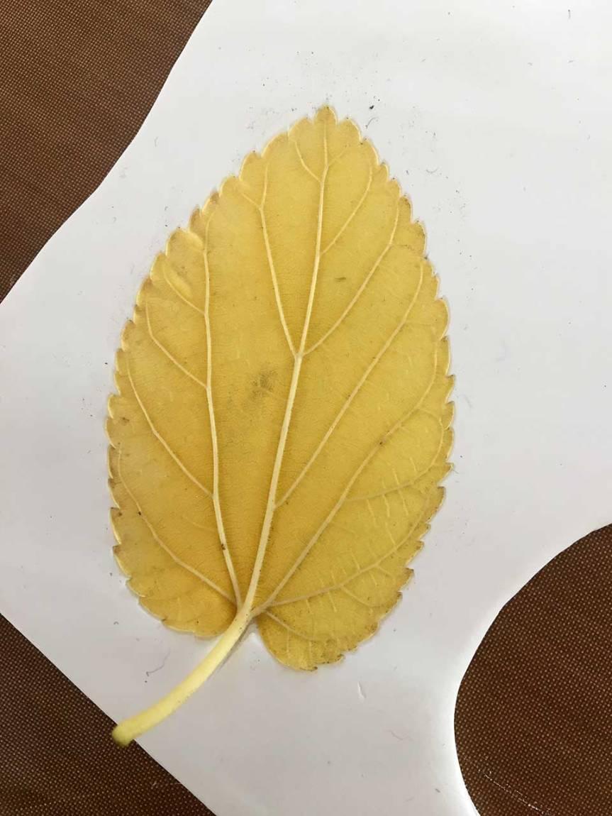 1-leaf-press-2